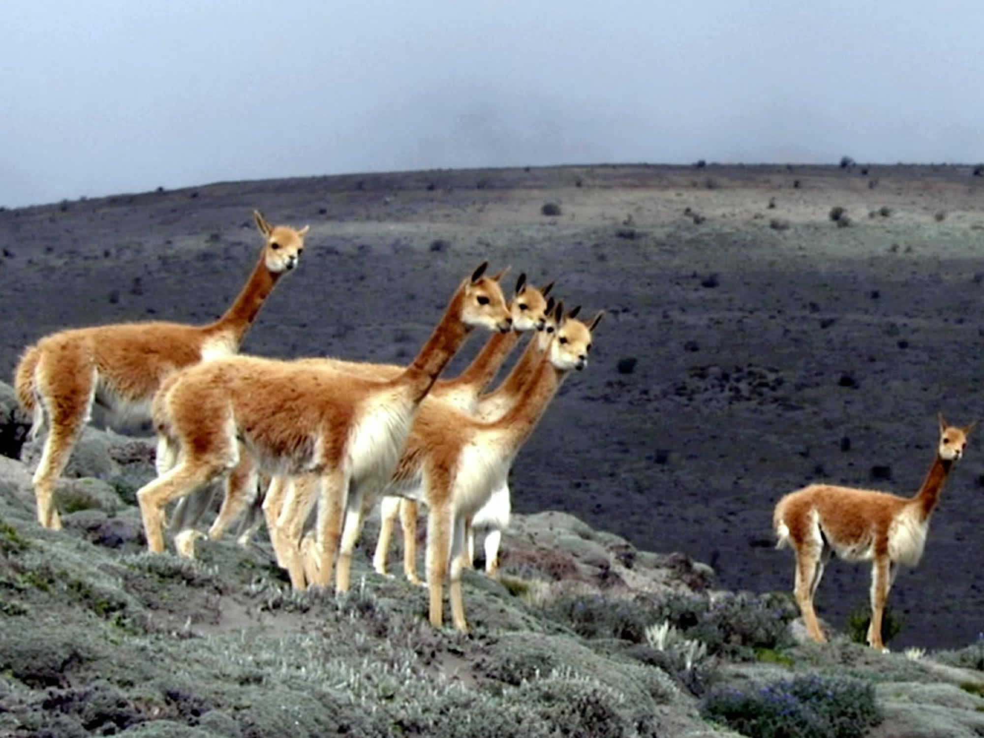 Andean Fauna